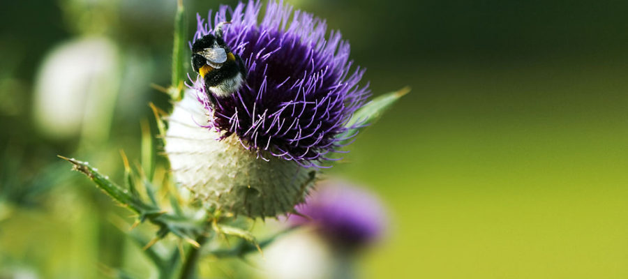 honeybee on a thistle